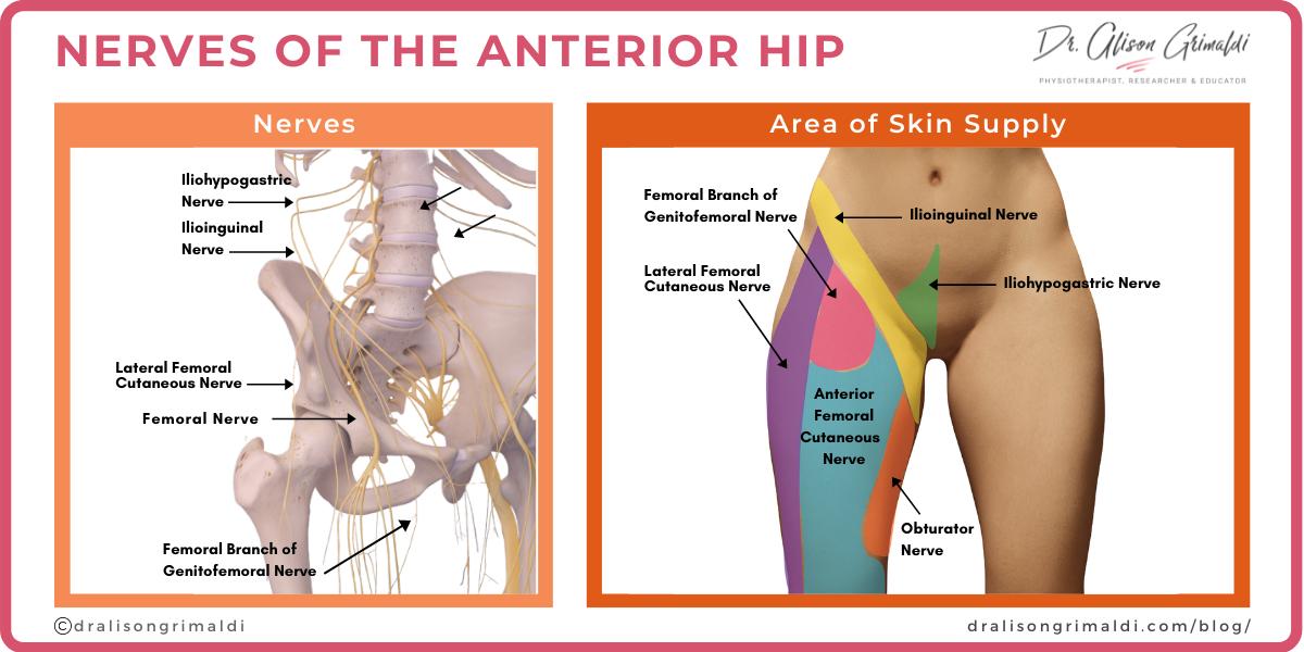 Nerves of the Anterior Hip _Dr Alison Grimaldi_Blog Illustration
