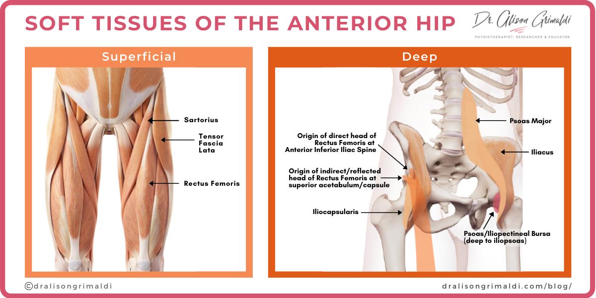Soft tissue of the anterior hip_graphic